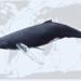 Migracions rècord del món animal